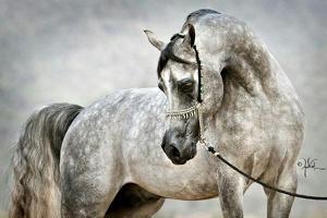 Arabian horse 0