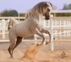 Arabian horse 3