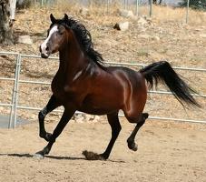 Arabian horse 5