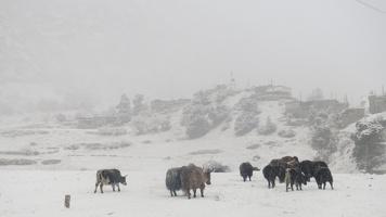 Nepal-Annaurna Cirucit Yaks