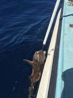 Port Jackson Shark CHRISSY caught