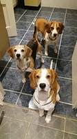 RandomScientist's Beagles